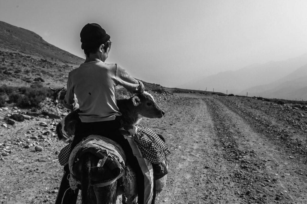 Tajik boy on donkey, with calf